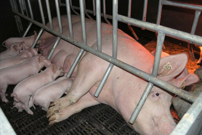 Hog Farmers Push on With Use of Crates – Western Illinois ...